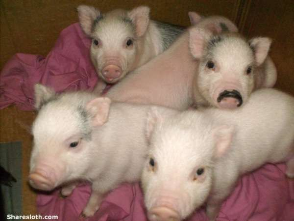 Teacup pig pictures so adorable pocket pig teacup pig and micro pig miniature pigs also known as micro pigs pocket pigs or teacup pigs voltagebd Choice Image