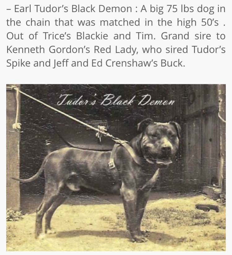 Game Apbt By Larry Jones Pitbull Terrier All Black Pitbull