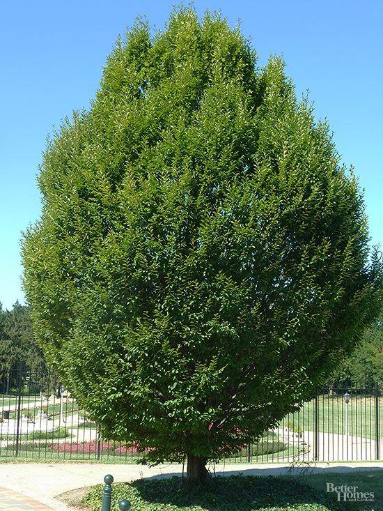 Los mejores rboles de sombra para tu jard n ideas para for Arboles para jardin
