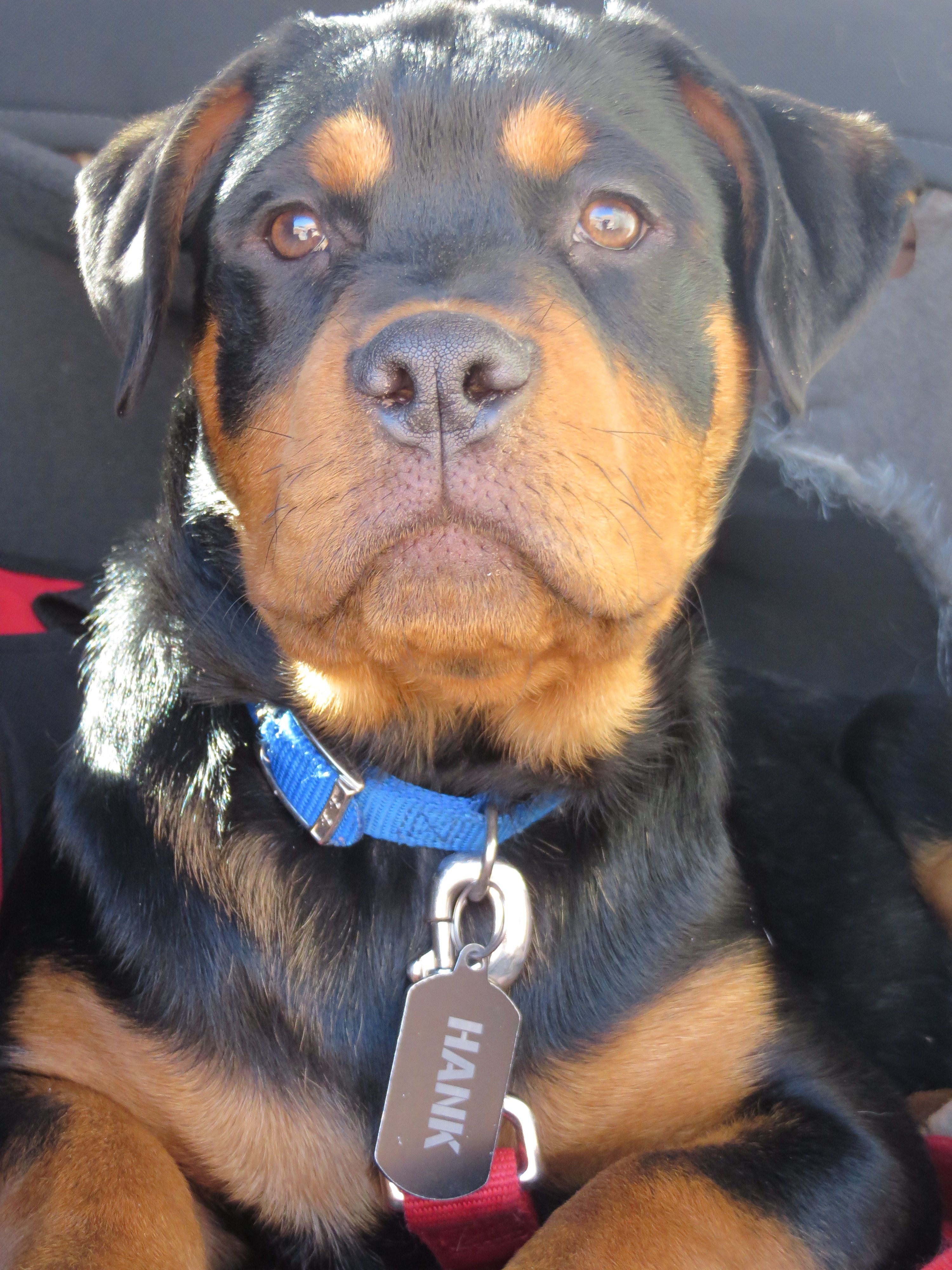Rottweiler 4 Months Old Love This Little Boy Mans Best