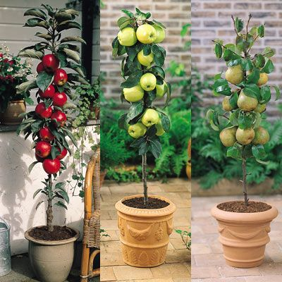 Columnar Fruit Trees Ideal For Growing In Tubs On Patios Or Balconies Fruit Trees For Sale Dwarf Fruit Trees Patio Fruit Trees