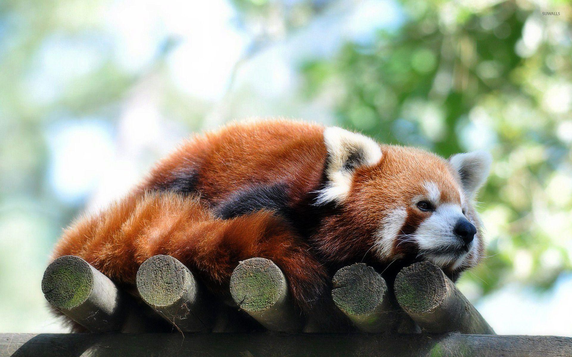 Red Panda Computer Wallpapers Desktop Backgrounds X Red Panda Panda Wallpapers Panda Bears Wallpaper