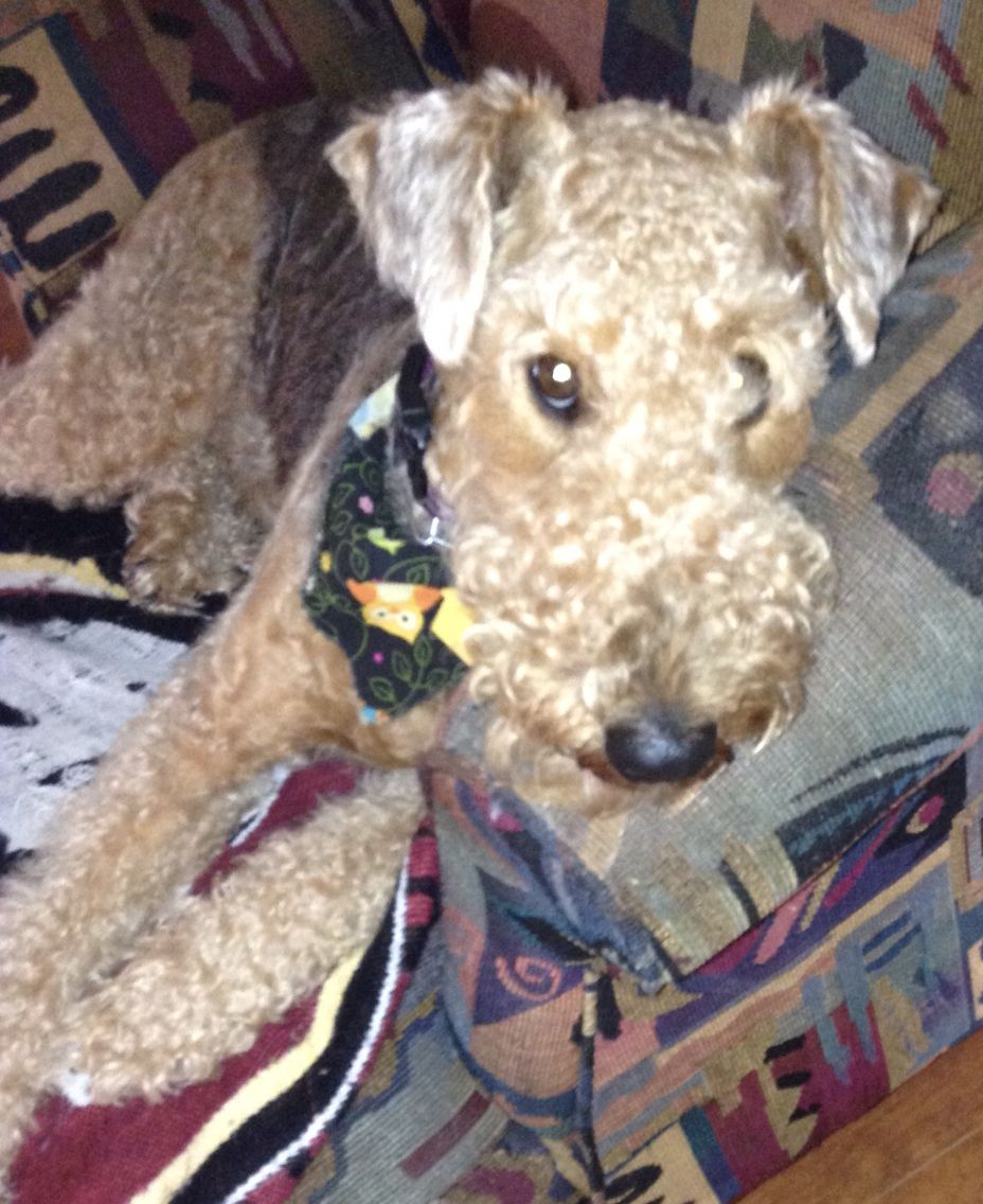 My dog! The best Airedale!