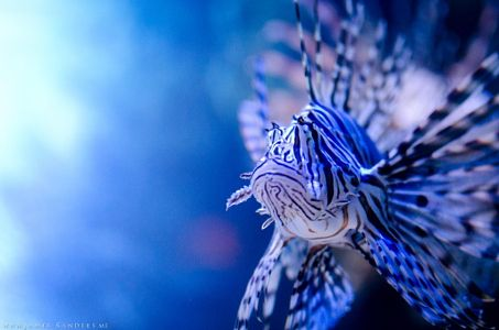 The Lionfish by James Sanders