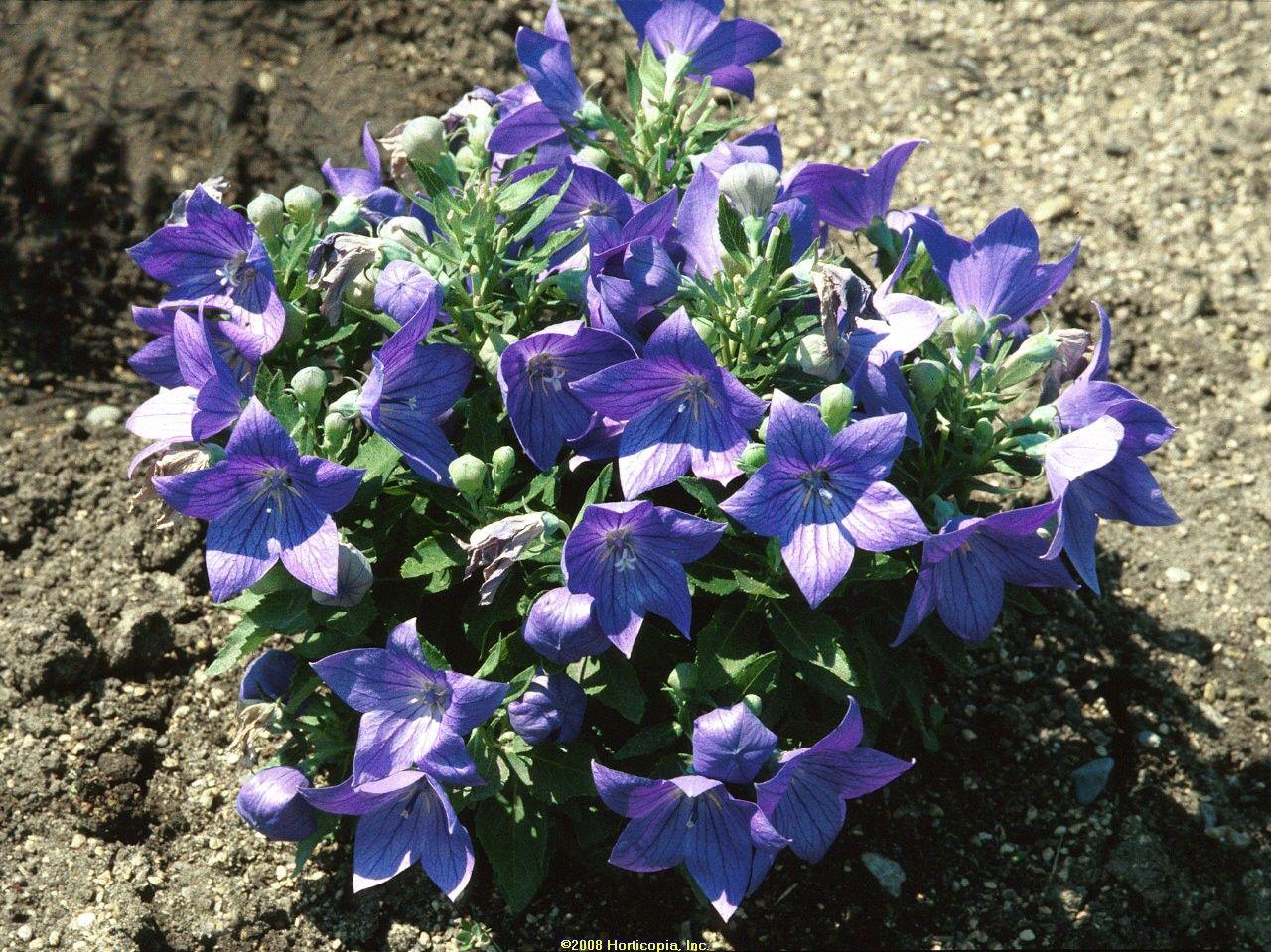 Balloon flower sentimental blue perennial sun 6 8 tall 18 wide balloon flower sentimental blue perennial sun 6 8 tall 18 wide summer bloom izmirmasajfo