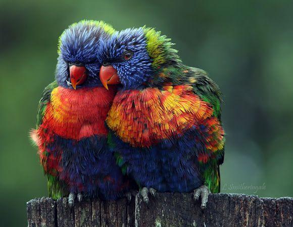 Rainbow Lorikeet This Pair Of Rainbow Lorkeets Were Getting Cosy