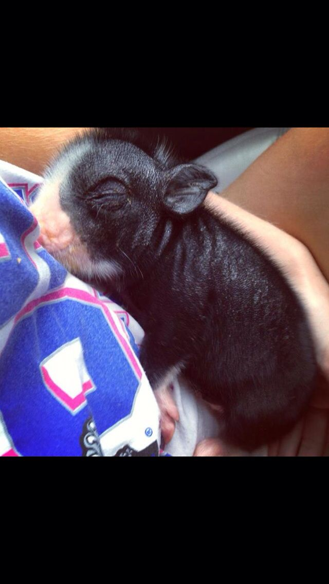 Teacup Pig Cute Small Animals Ty Animals Cute Animals