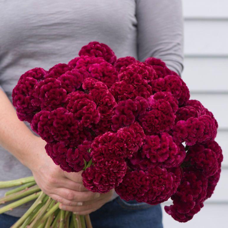 Cramer S Burgundy Celosia Seed Johnny S Selected Seeds Burgundy Flowers Celosia Flower Flower Farm