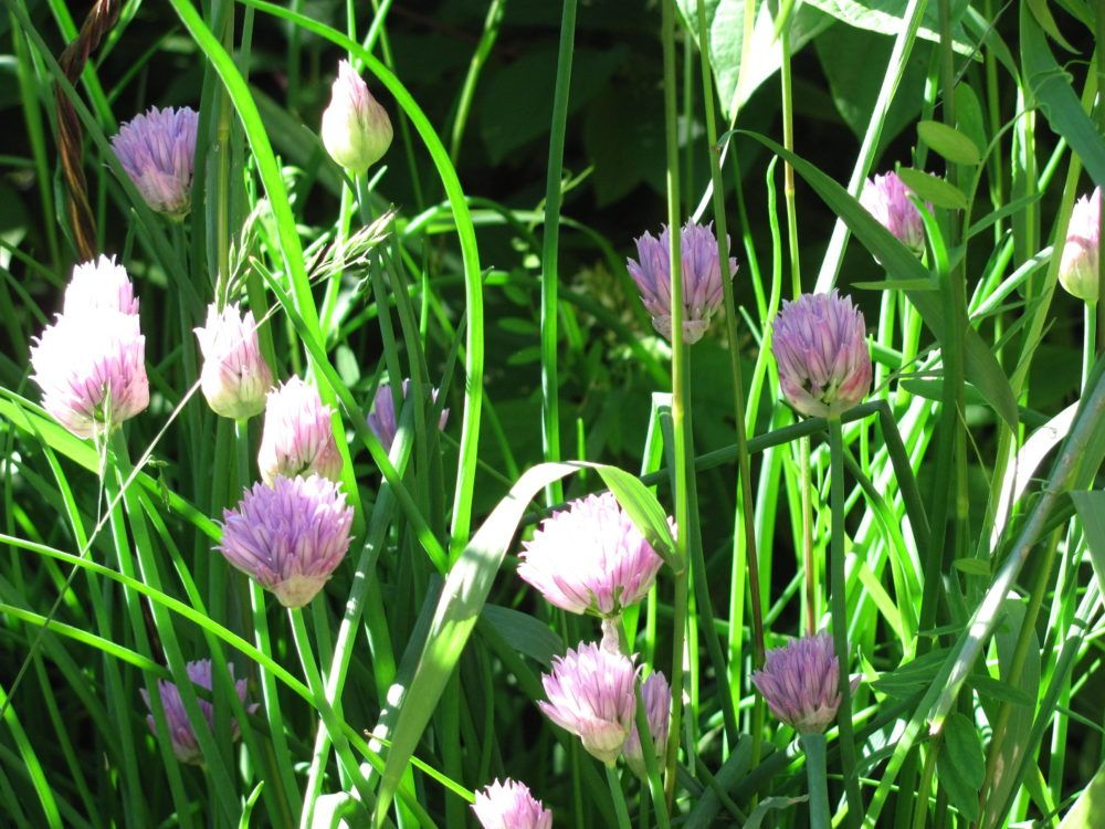Companion Planting Flowers to Deter Garden Pests (With