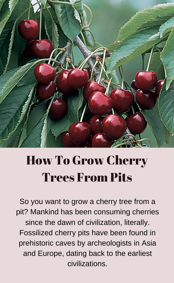 How To Grow Cherry Trees From Pits Gardening Channel How To Grow Cherries Growing Cherry Trees Growing Fruit Trees