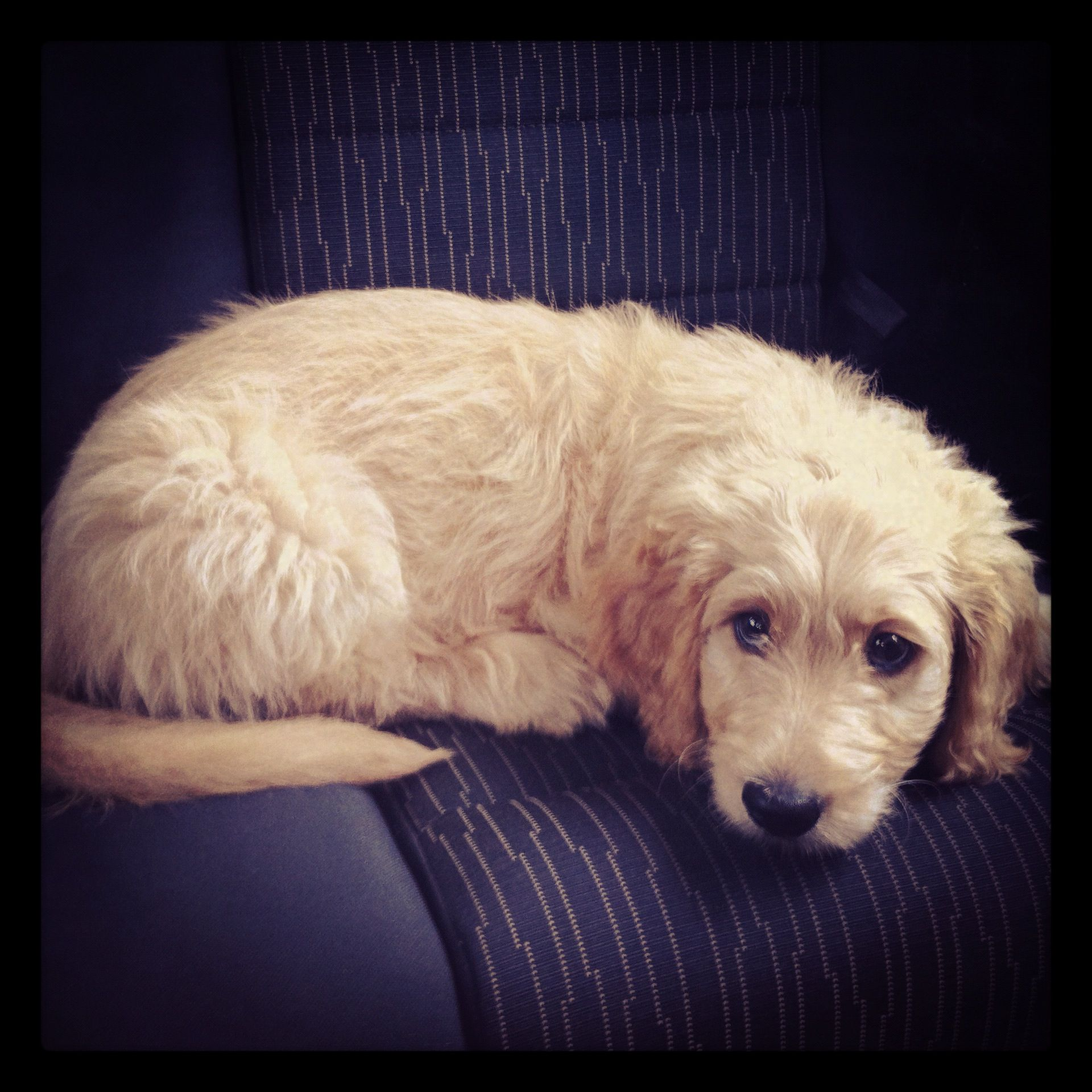 Goldendoodle Puppy Dogs, puppies, Goldendoodle, Cute animals