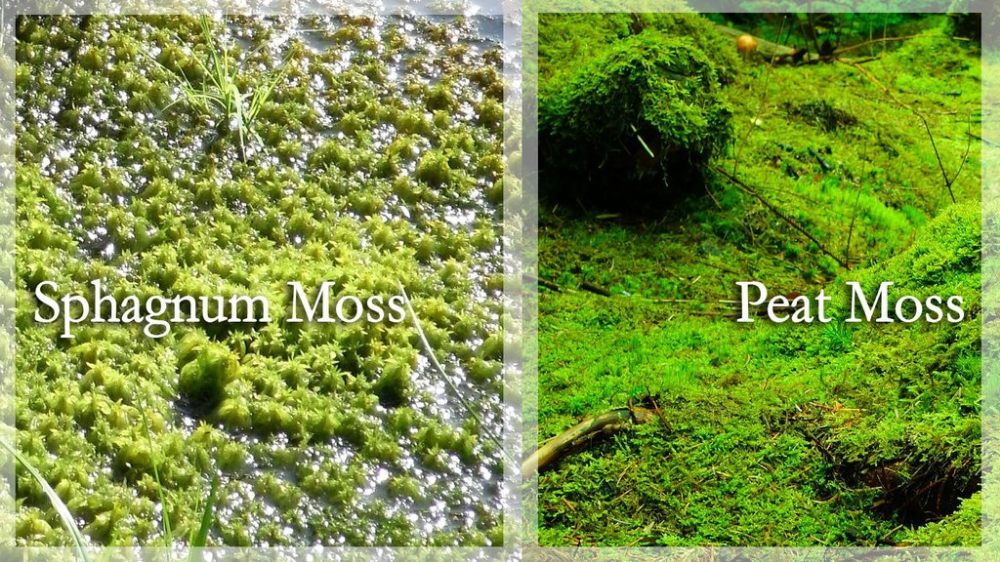 Peat Moss Vs Sphagnum Moss What S The Difference Peat Moss Moss Plant Types Of Moss