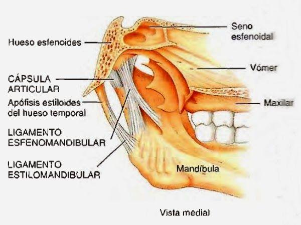 Articulación temporomandíbular vista medial | Anatomía: Cráneo ...