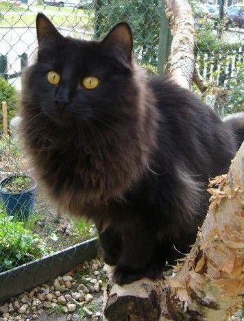 Black Nordic Forest Cat Fluffy Black Cat Norwegian Forest Cat Siberian Cat