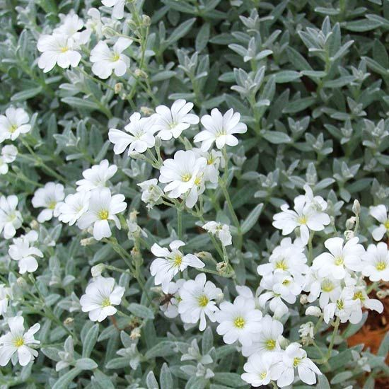 Great groundcovers garden pinterest pure white sunnies and snow snow in summerlver leaved groundcover that is covered with dainty white flowers in early summer this plant spreads rapidly and looks great tumbling mightylinksfo
