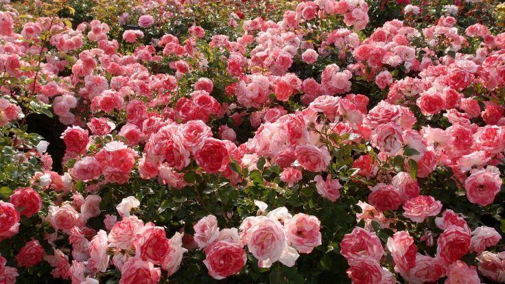Flower Nature Beautiful Mood Rose Garden Pink Wallpaper Background The Reason Background Beautiful Flo Flowers Pink Wallpaper Backgrounds Organic Roses Coolest rose flower laptop wallpaper