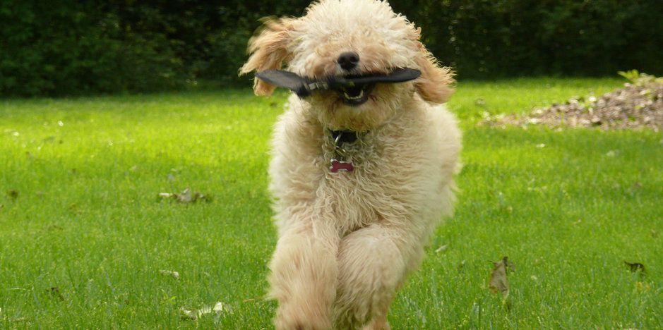 labradoodledreams Labradoodle, Australian labradoodle, Pup