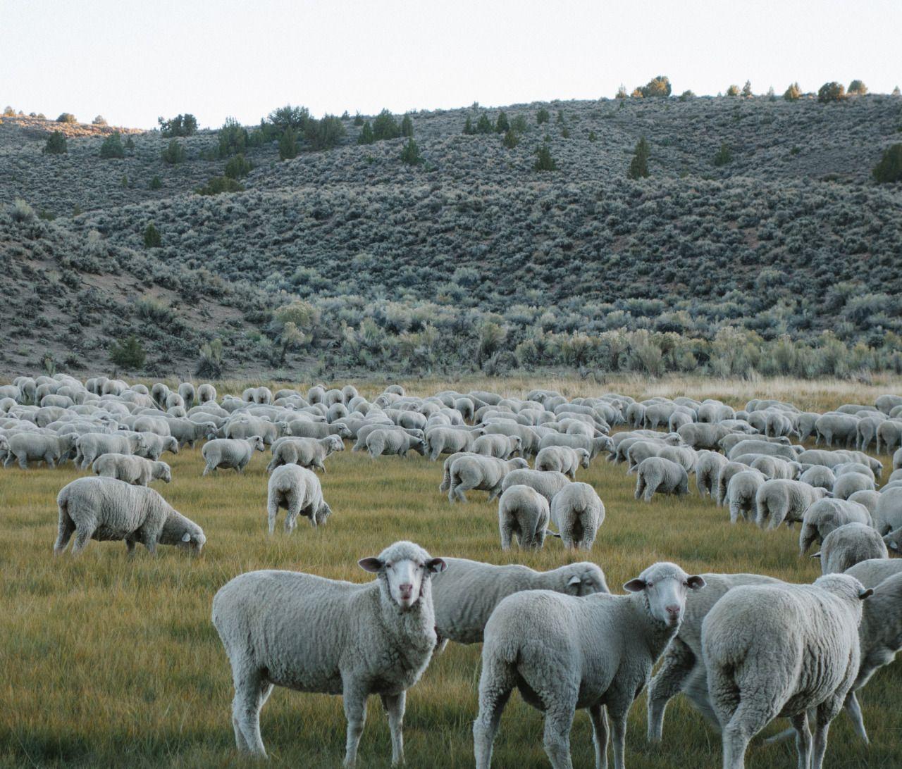 Sheep, Bodie, CA