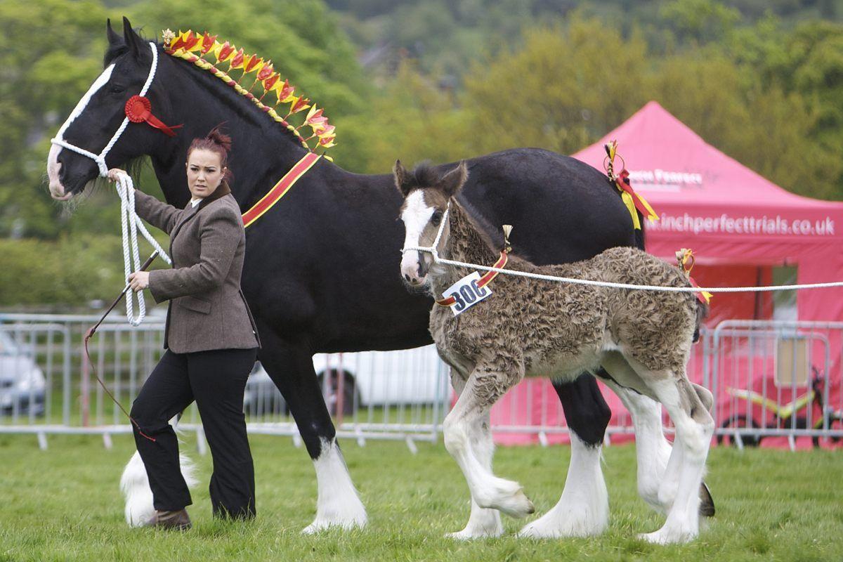 Shire Mare And Foal Horses Draft Horses Big Horses [ 800 x 1200 Pixel ]