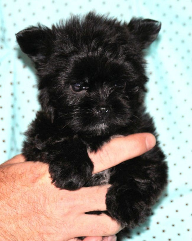 Teacup Shorkie Puppies For Sale Shorkie Puppies Puppies