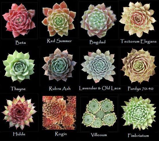 Succulent Types: Best 25+ Types Of Succulents Ideas On Pinterest