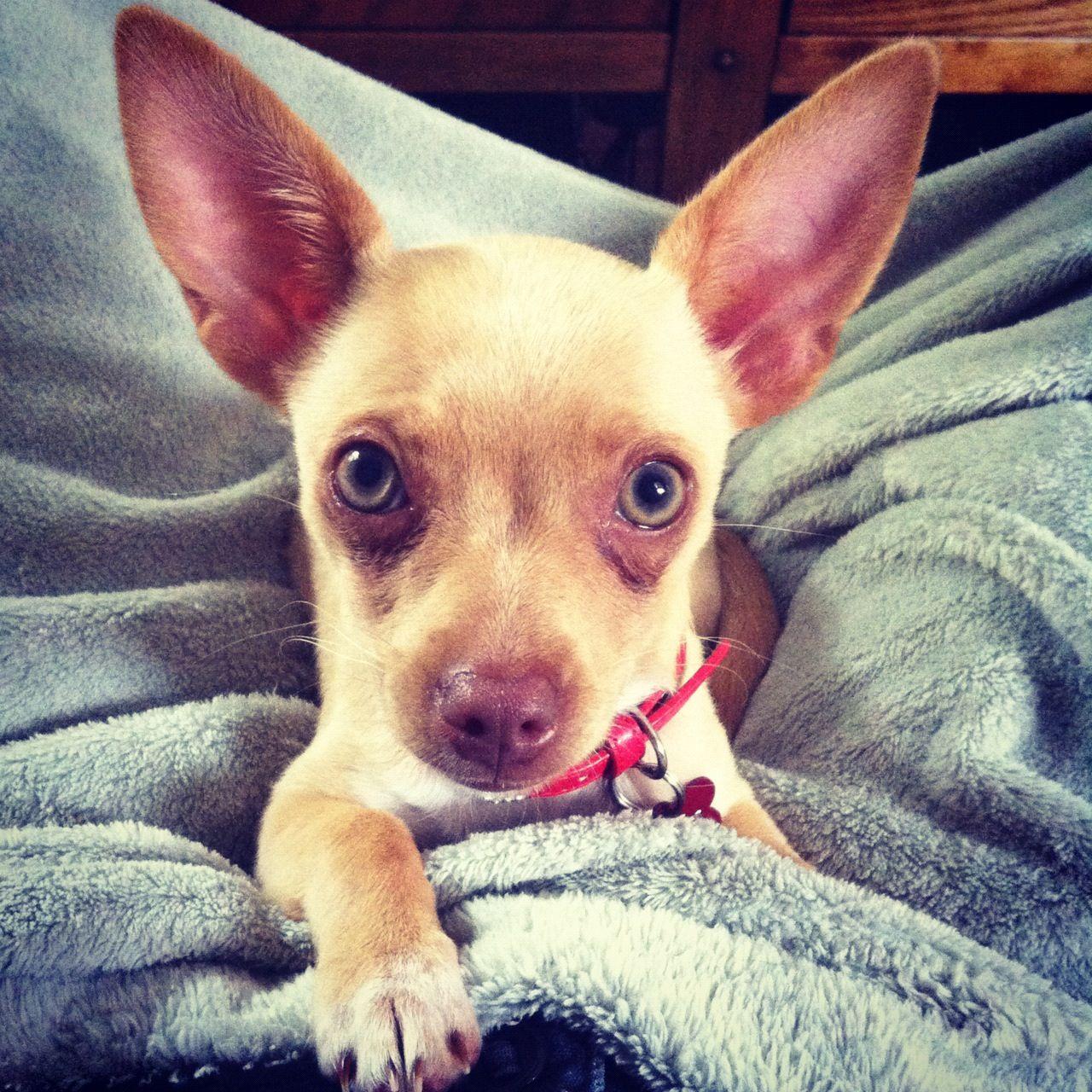 Chihuahua Dingo Chihuahua Dogs