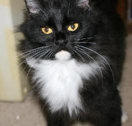 Adopt Annie On Petfinder Norwegian Forest Cat Black Norwegian