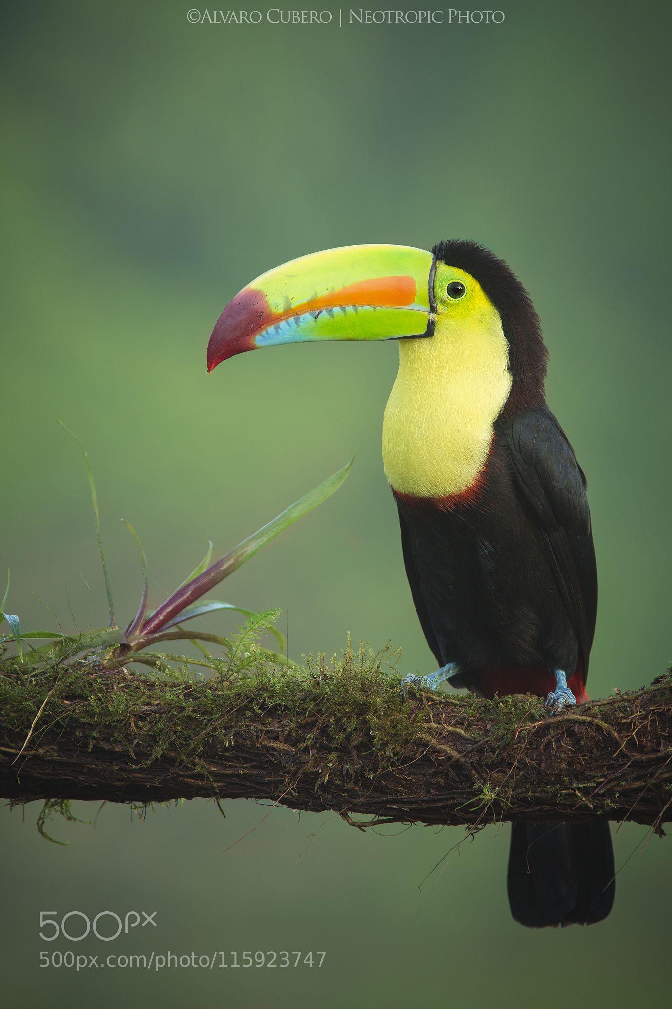 The Toucan Multicolor By Alvaro Cubero Vega Beautiful Birds Rainforest Animals Tropical Birds