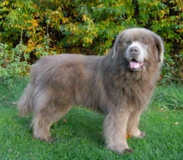 Lilac Isabella Newfoundland Dog Landseer Dog Newfoundland Dog Dogs