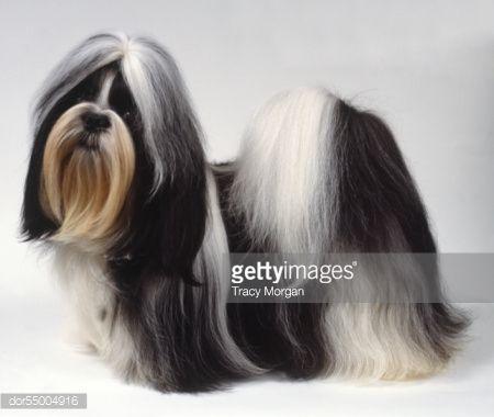 Black And White Shih Tzu Google Search Shih Tzu Terrier Mix