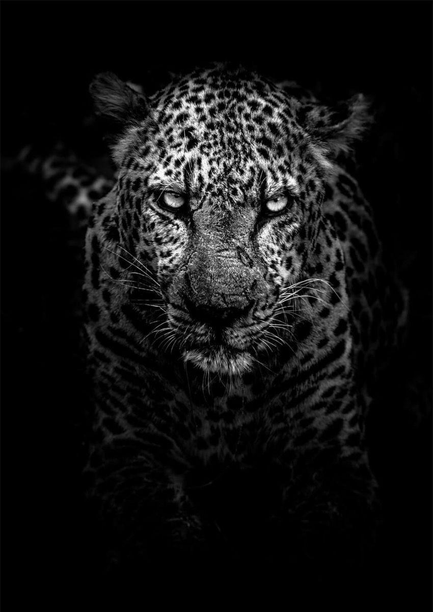 Hungry Leopard Poster 2 In 2020 Leopard Wallpaper Animal Wallpaper Tiger Wallpaper