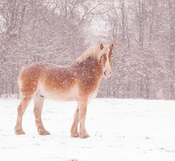 Belgian In A Blizzard by Sari ONeal