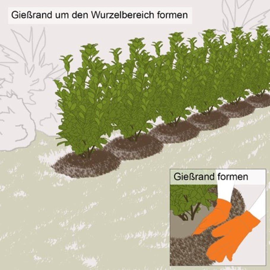 Pin Auf Liguster Pflanzen
