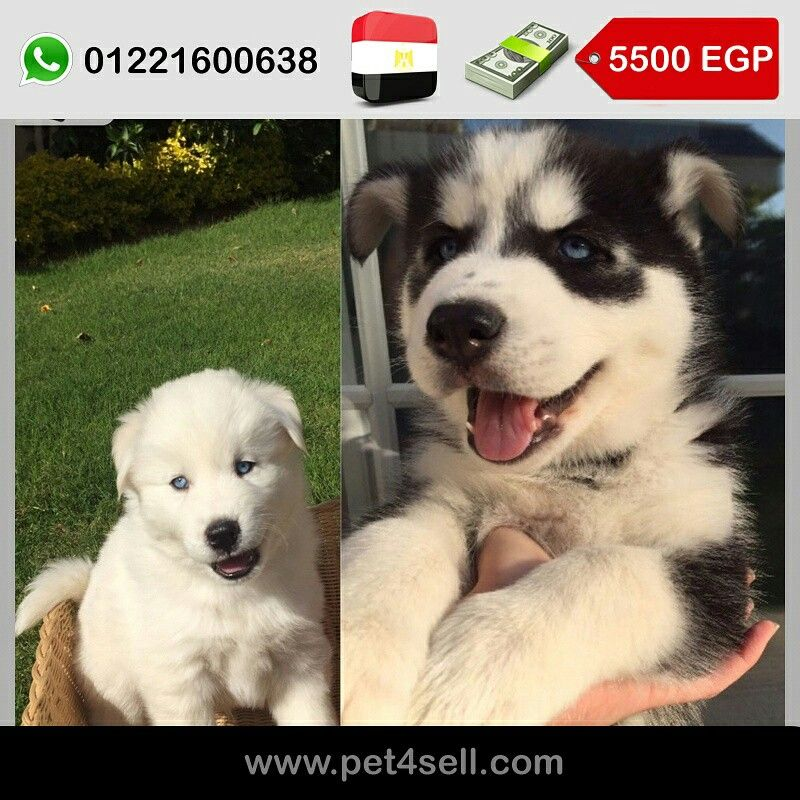 Egypt Cairo Two Pure Male Siberian Husky Puppies For Sale 45