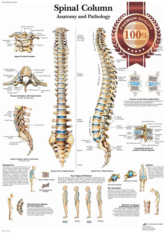 11 95 aud anatomical spinal column diagram chart spine anatomy print premium poster ebay home garden [ 1080 x 1523 Pixel ]