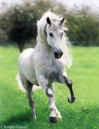 Andalusianhevonen ori.jpg