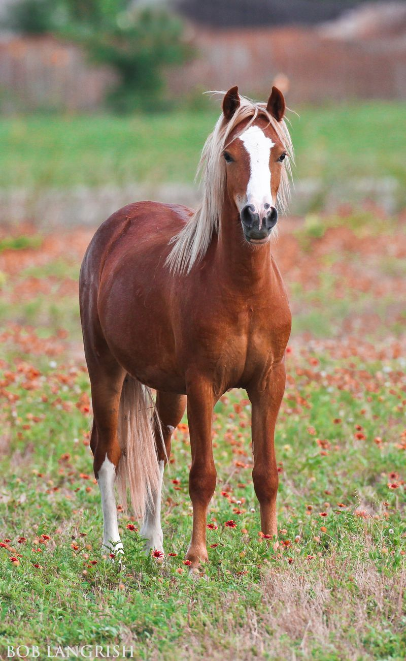 Scarborough Rapture, chestnut Welsh Mountain Pony with ... - photo#5