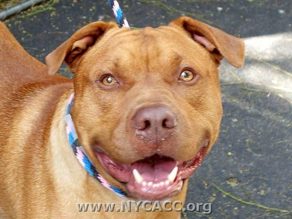 URGENT! THIS DOG WILL BE EUTHANIZED UNLESS A HOLD IS PLACED ON HIM BY NOON EST 6/28/14.  LOG IN TO THE AT RISK LIST TO PLACE A HOLD AND SAVE A LIFE.  http://nycacc.org/PublicAtRisk.htm    Manhattan.. My name is TALI. My Animal ID # is A1003911. I am a male red and white am pit bull ter mix. The shelter thinks I am about 3 years old.