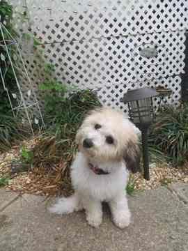 Havachon Puppy For Sale In Raleigh Nc Adn 37608 On Puppyfinder
