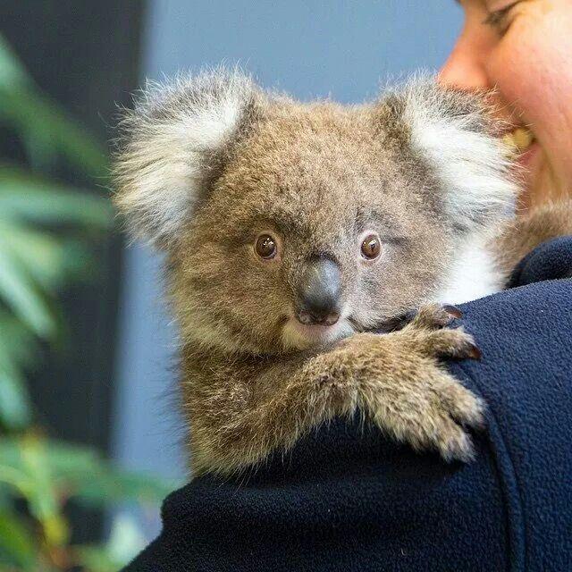 "KOALA BABY, HER NAME IS ""GUMNUT""!, AUSTRALIA  - WONDERS OF WILDLIFE"