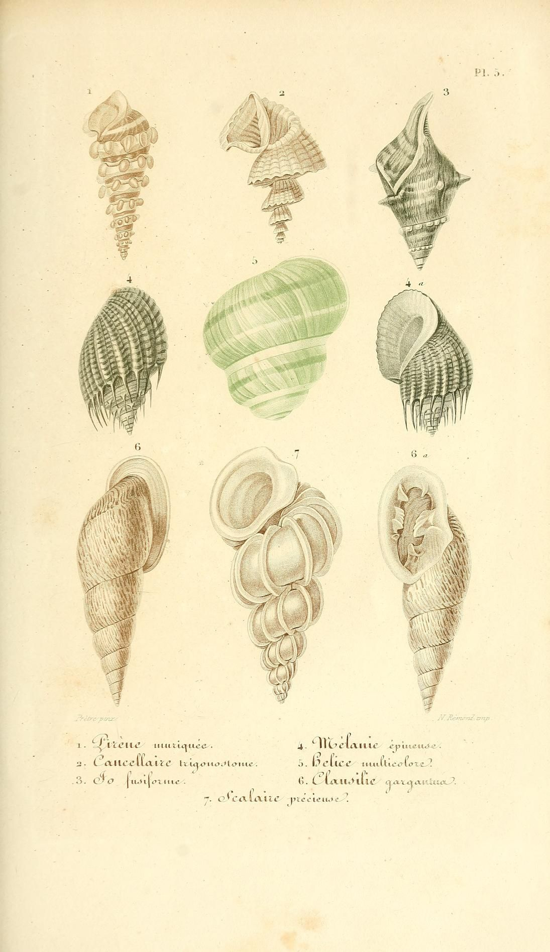Lecons Elementaires Sur L Histoire Naturelle Des Animaux Biodiversity Heritage Library Histoire Naturelle Coquillage Dessin Dessin Botanique