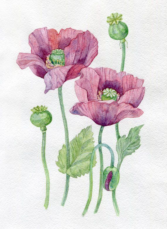 Purple Poppies Botanical Flower Illustration Of Watercolor