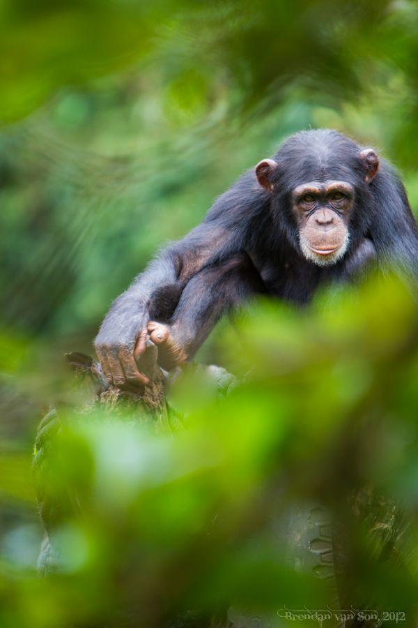 Tacugama Chimpanzee Sanctuary in Photos | Baby chimpanzee ...