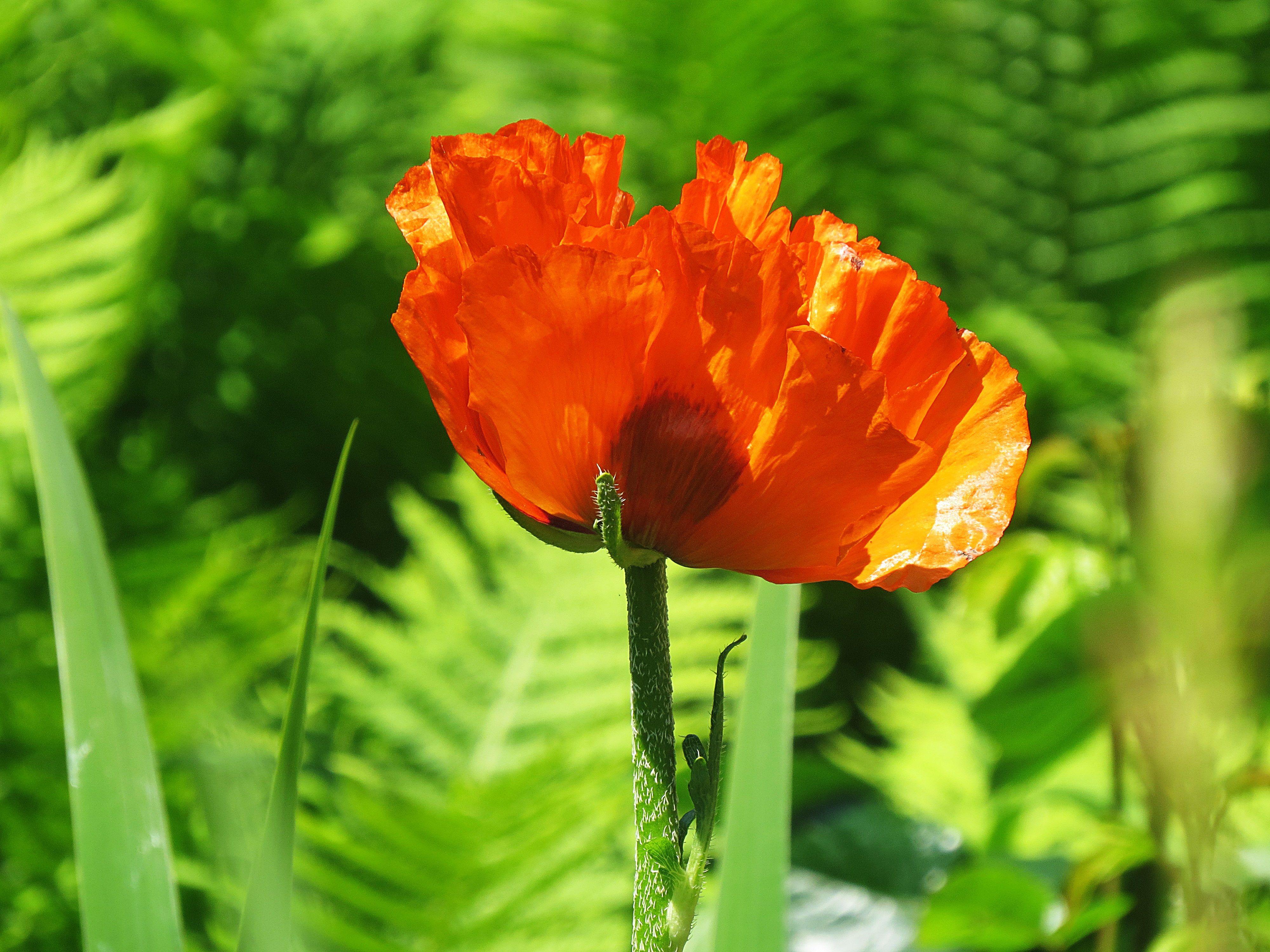 Mohnblume | Blumen, Mohnblume, Mohn