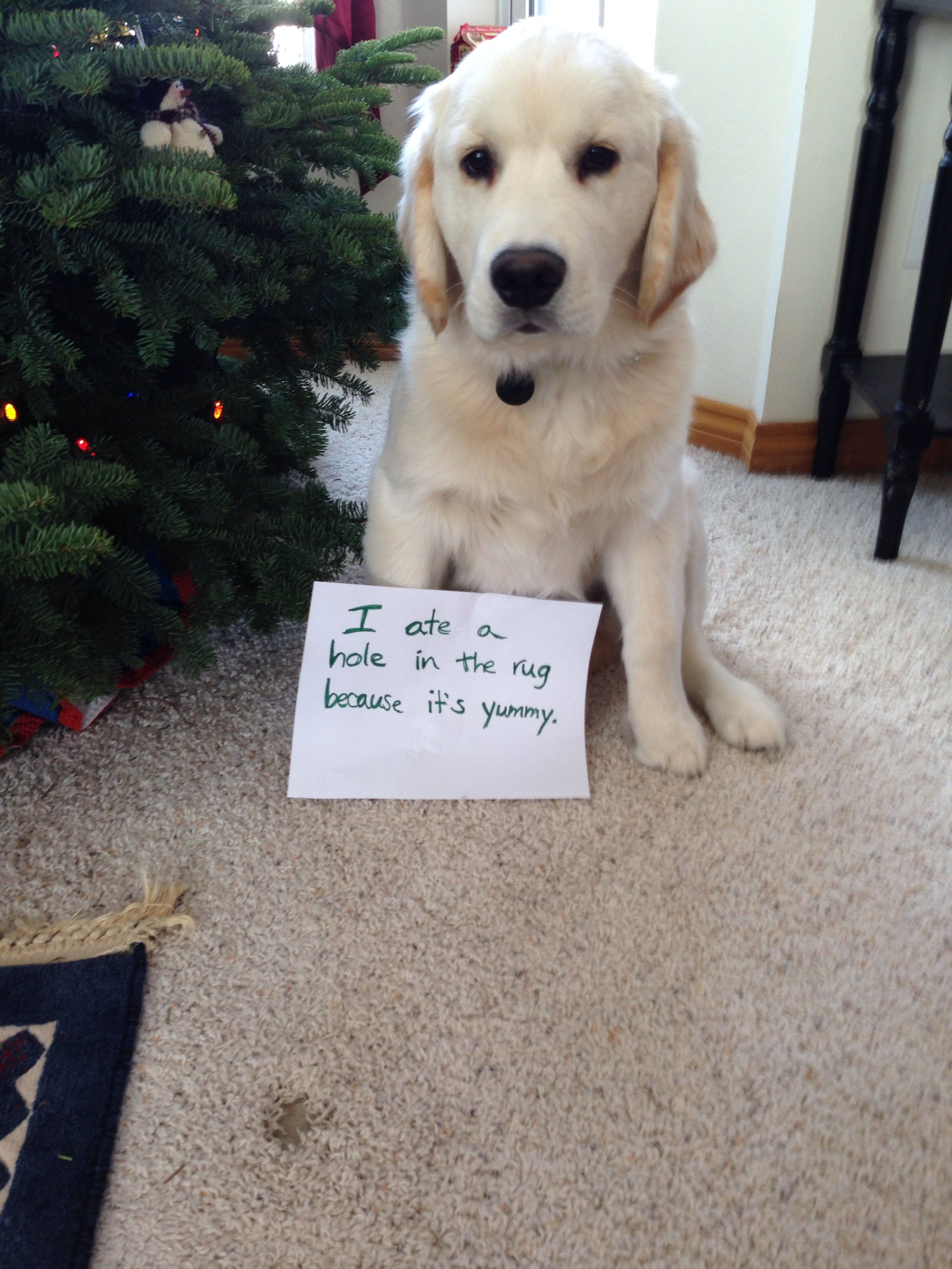 Dog Shaming Golden Retriever Puppy Roy Dog Shaming Funny Dog