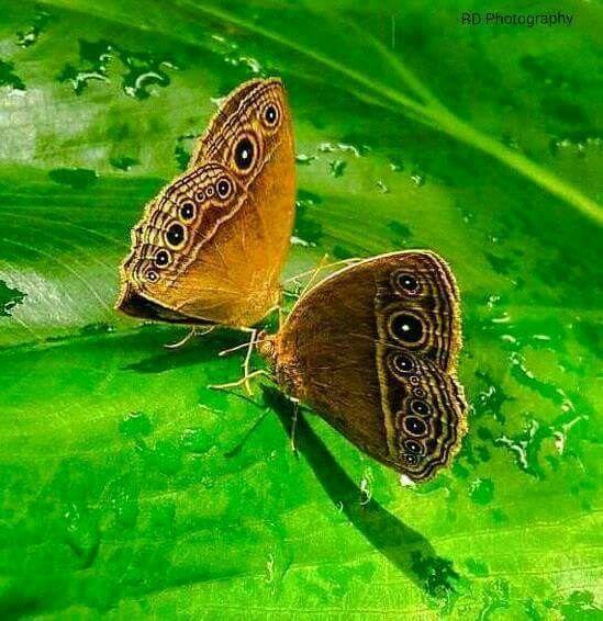 Pin By Piyada Piti On ผ เส อสวยๆ Butterflies Flying Butterfly Moth