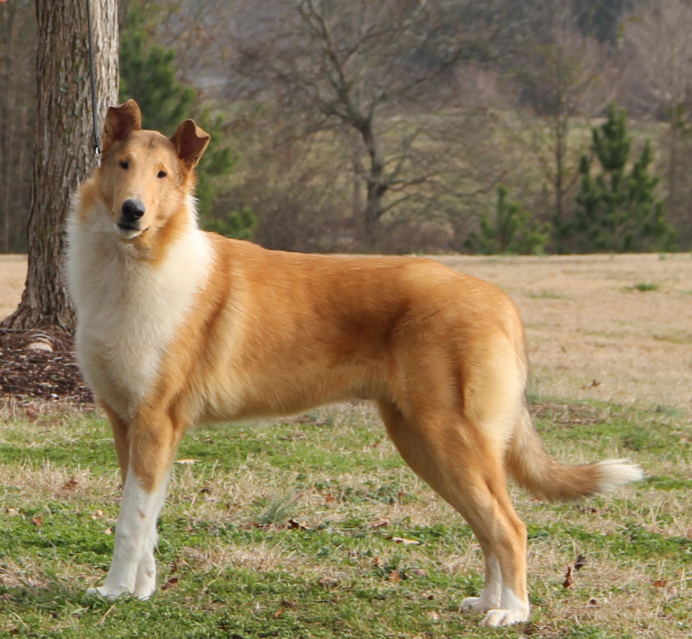 Colliesprelude Every Dog Breed Smooth Collie Unique Dog Breeds