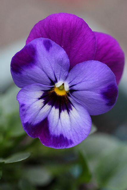 Viola Flower Pansies Flowers Viola Flower Purple Flowers