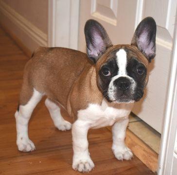 French Bulldog Puppy For Sale In Sacramento Ca Adn 21054 On