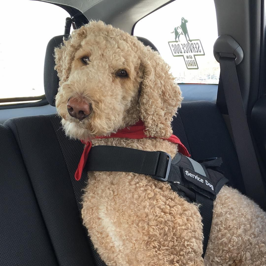 Oliver Aka Ollie The Service Dog Has A Very Import Job With
